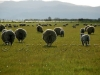 sheep Tas16
