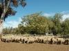 sheep yard13