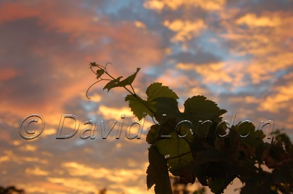 sunrise vineyard32