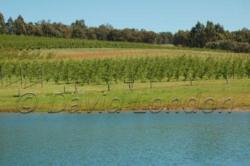 dam vines Bridgetown93